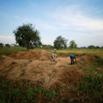 A growing problem: Nigerian rice farmers fall short after borders close